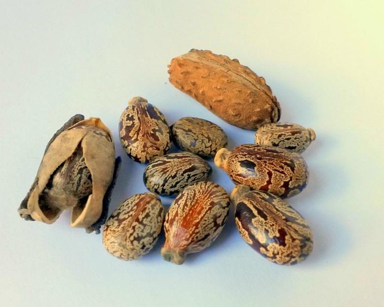Рицинусово масло - семе - плод