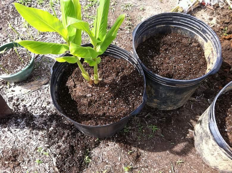 8 чекори како да засадите и одгледувате ѓумбир во саксија