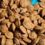 семки од кајсија