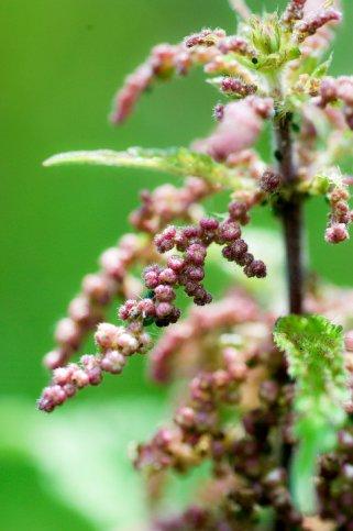 seme od kopriva 1