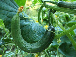 Краставица - ублажува глад, отстранува стрес и чисти санитарии 1
