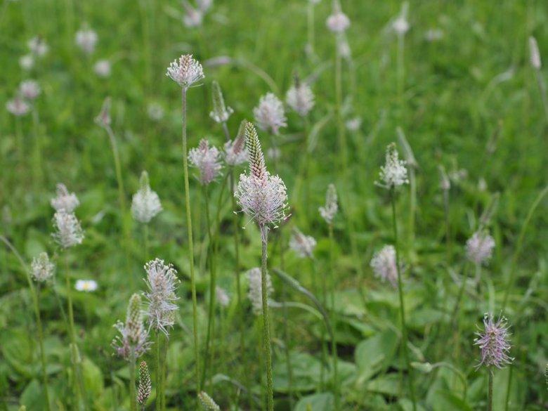Plantago lanceolata (тегавец) е природен лек кој го имаме по дворовите 2
