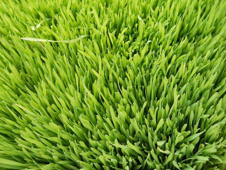 Со сок од пченична трева до подобро здравје 2