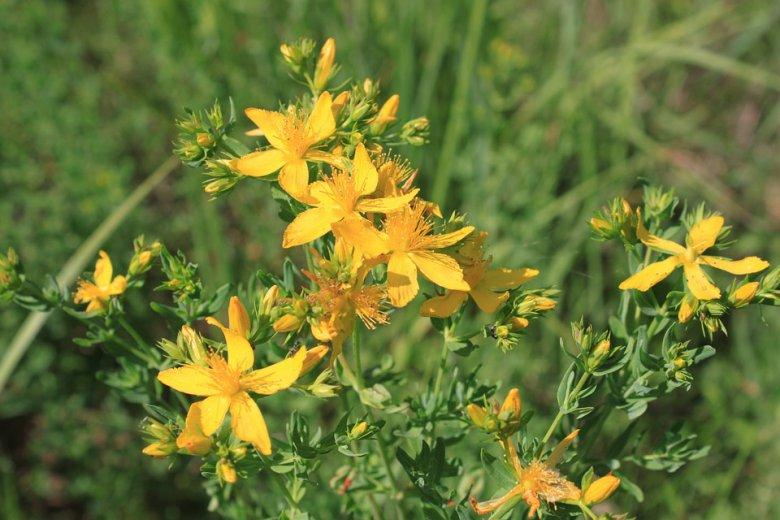 5 природни лекови кои може да ги наберете од ливадите 2