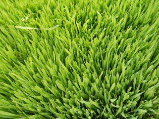 Со сок од пченична трева до подобро здравје 1