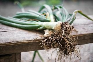 Младиот кромид е пролетен сојузник на здравјето