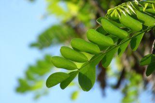 Моринга – малку позната храна со корисни придобивки