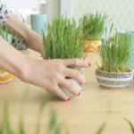 Како да засадите пченична трева за Велигден?